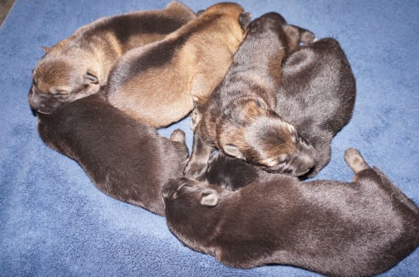Shepherd Puppies For Sale X Litter vom Zauberberg (7)