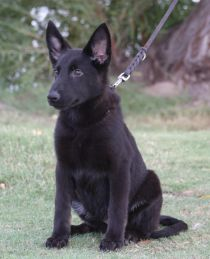 Ziska black german shepherd puppy for sale