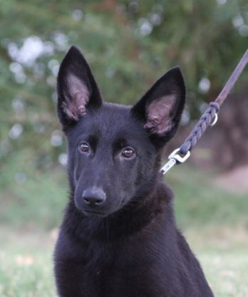 Ziska puppy in Tucson for sale