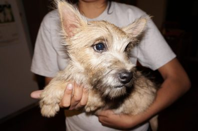 Cairn Terrier Male in Tucson AZ (2)