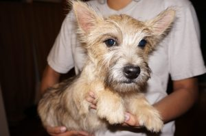 Cairn Terrier Male in Tucson AZ (3)