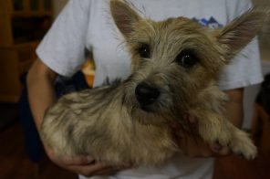 Cairn Terrier Male in Tucson AZ (4)