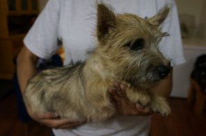 Cairn Terrier Male in Tucson AZ (5)