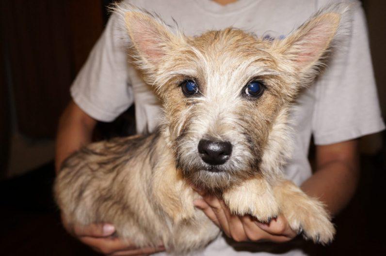 Cairn Terrier Male in Tucson AZ (7)
