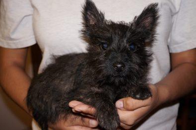 Cairn Terrier in Tucson (4)