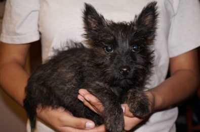 Cairn Terrier in Tucson (6)