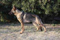 Valdo young German Shepherd male for sale