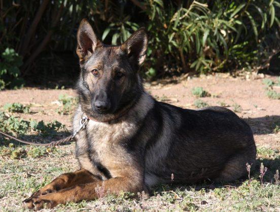 family companion German Shepherd female