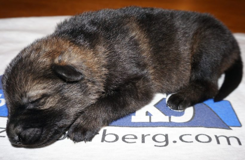 Ada German Shepherd Puppy