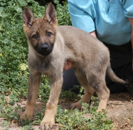 Andrea Shepherd female puppy available