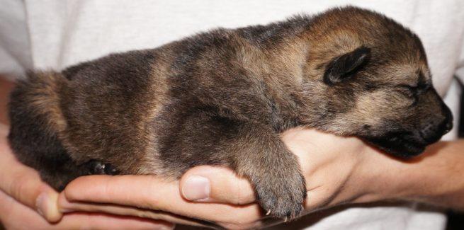 Annora German Shepherd Puppy (15)
