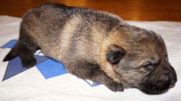 Apsel German Shepherd Puppy (15)