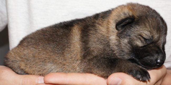 Arya German Shepherd Puppy (2)