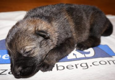 German Shepherd Puppy For Sale Ada