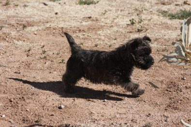 Cairn Terrier Female