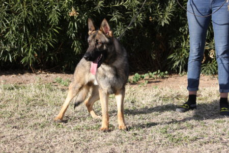 Protection dog available for sale Tucson