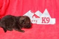 German Shepherd Puppy for sale in FL