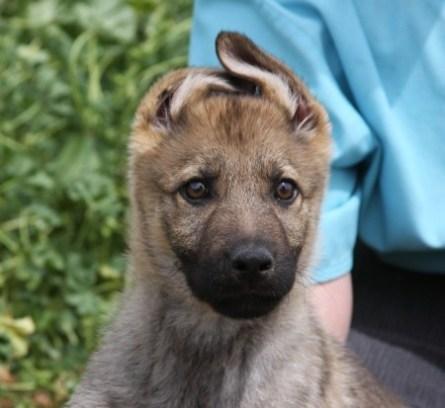 Apsel German Shepherd male puppy image