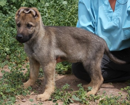 Apsel puppies for sale in Tucson