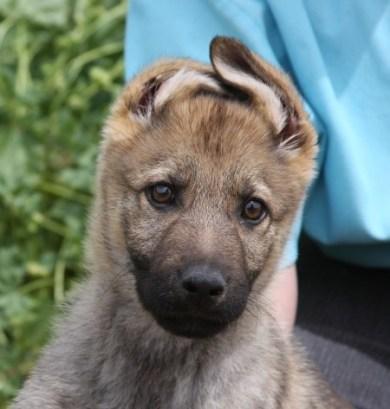 Apsel sable German shepard puppy