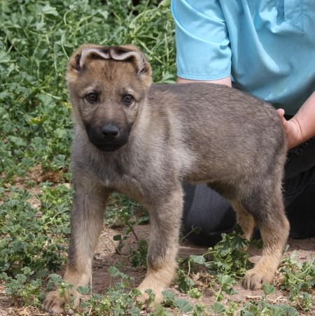 Apsel working dog puppy for sale