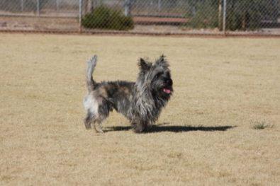 Brindle Cairn Terrier Stud Dog