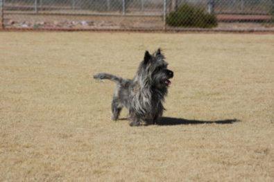 Cairn Terrier Stud Dog