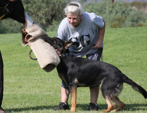 Protection German Shepherd dog available