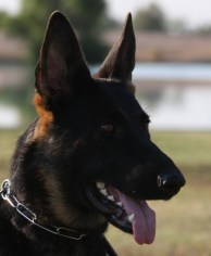 german shepherd best pedigree Tucson