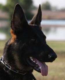 german shepherd best pedigree Tucson