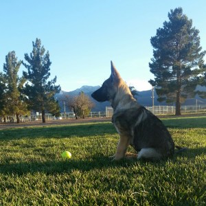 Germna Shepherd Breeder in Sierra Vista