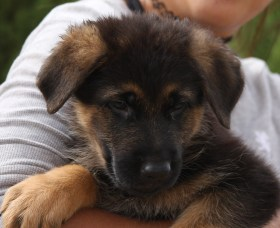 black and brown German Shepherd puppy male for sale