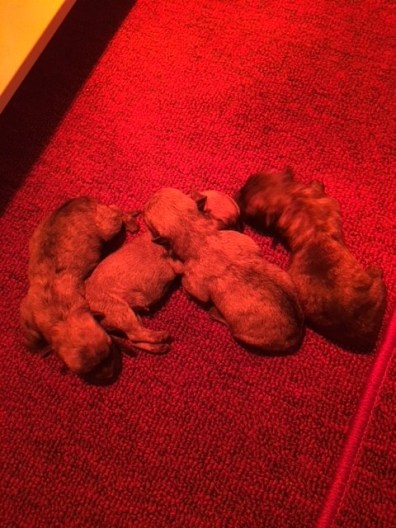 Cairn Terrier breed info