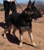 German Shepherd Male Black and tan for sale AZ
