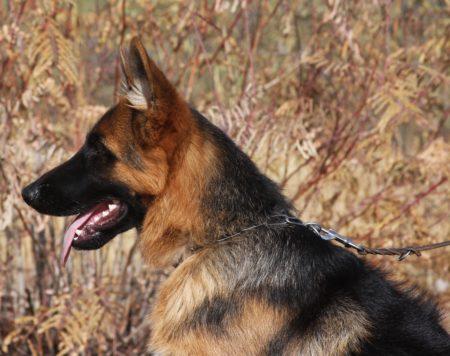 German Shepherd from top breeder for sale