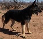 Male German Shepherd for sale near me