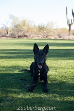 Orca-Black-German-Shepherd-for-Sale (5 of 6)