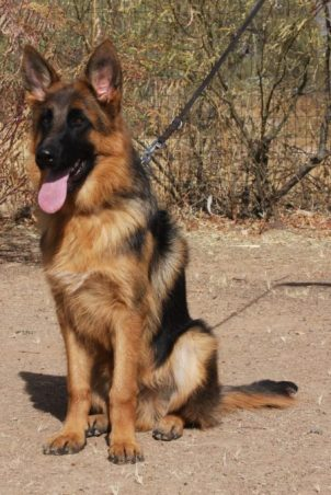 Trained German Shepherd male from top breeder for sale