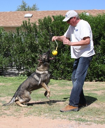 German shepherd trained obedience and protection for sale Tucson