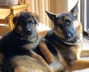 Two female German Shepherd review Zauberberg K9 Kennels
