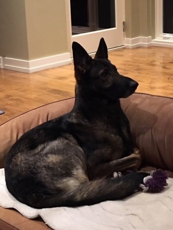 Zauberberg Kennels review of trained German Shepherd female sold