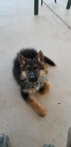 Cutest German Shepherd Puppy for sale near me