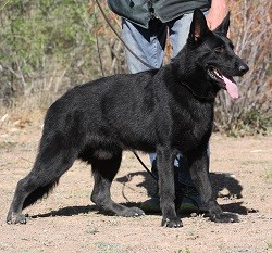 Black German Shepherd from best working line available
