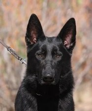Solid black German Shepherd male for sale