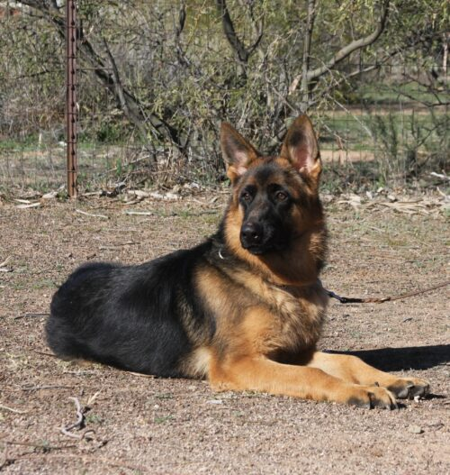 Black and red German Shepherd male for sale