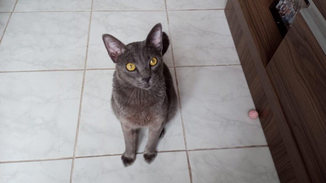 Foto de uma gato cinza; foto tirada com um Moto G8 Power Lite