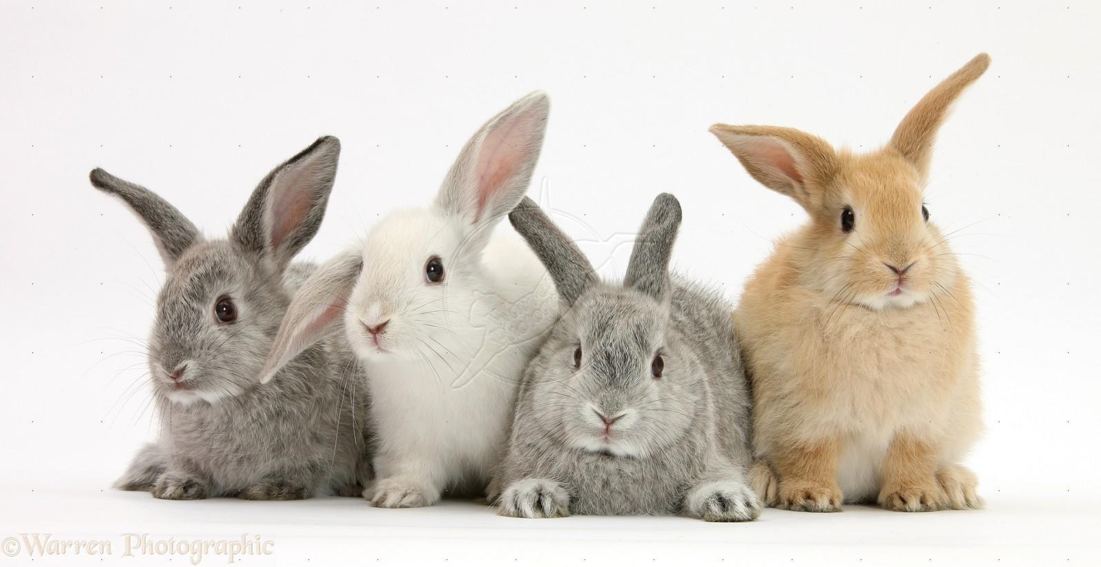 Background Transparent Bunny
