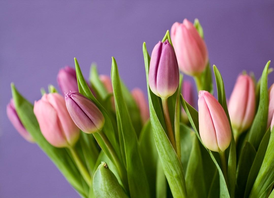 http://pixabay.com/en/tulips-flowers-tulip-bouquet-violet-320151/