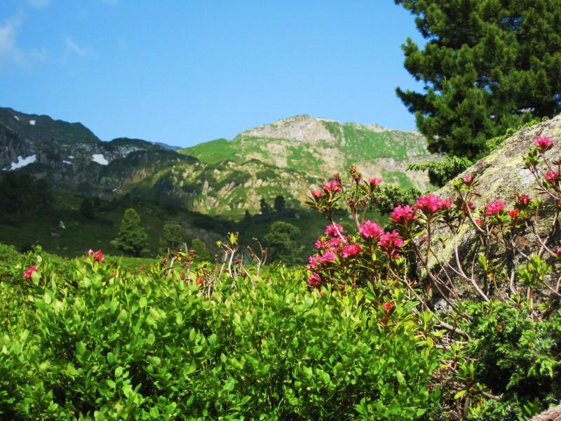 alp rose krema protiv bora