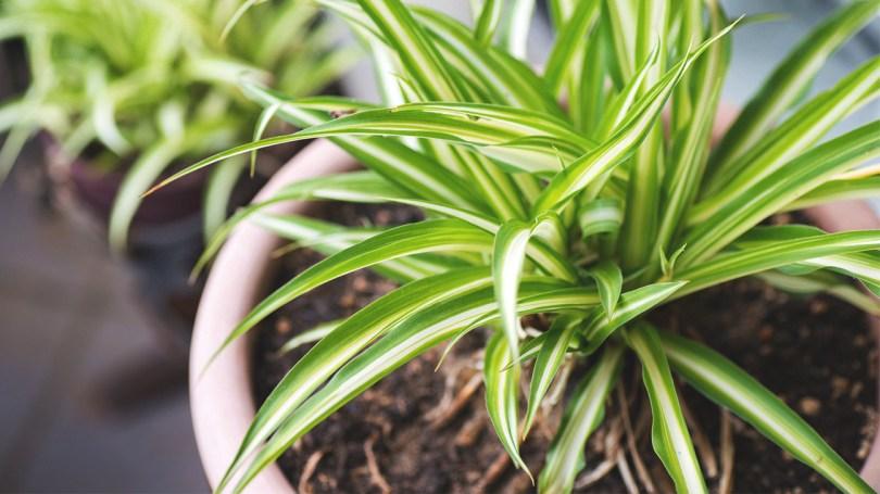 zeleni ljiljan